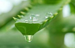 Лечение гайморита соком алоэ, показания и противопоказания