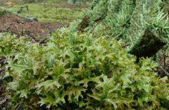 Средство от кашля — исландский мох для детей и взрослых