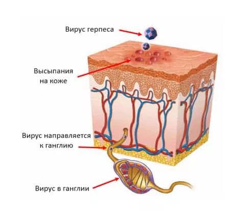 взаимодействие вируса с кожей